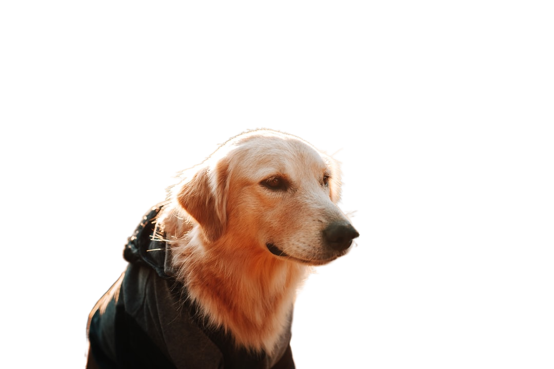 golden retriever with black leather jacket