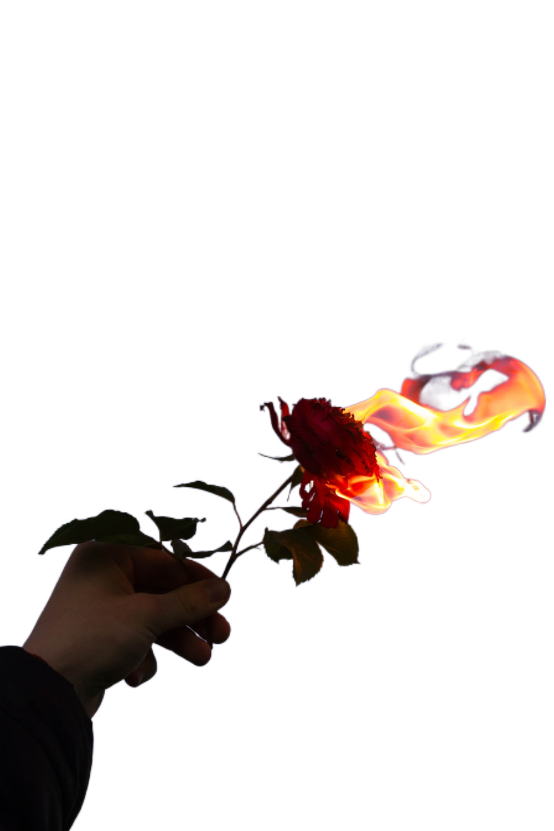 person holding red flower during sunset