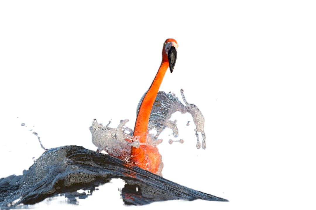 American flamingo on water with waves